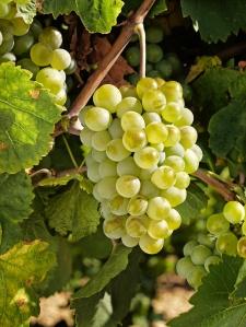 uva-blanca-verdejo